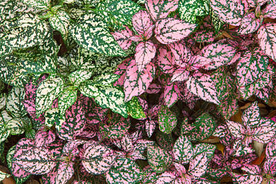 Photograph - Colorful Leafy Ground Cover by Ram Vasudev