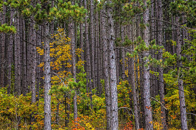 Photograph - Colorful Leaves Of Small Trees Among A Grove Of Pines by Randall Nyhof