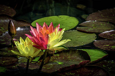 Photograph - Colorful Lily by Paul Freidlund