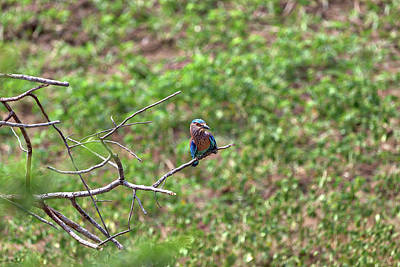 Photograph - Colorful Little Bird Named Kingfisher In Front View  by Regina Koch