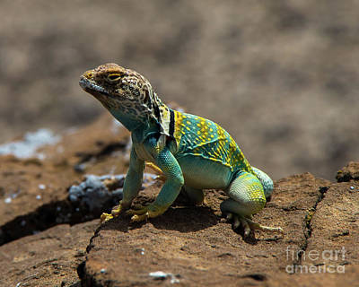 Photograph - Colorful Lizard 2 by Steve Whalen