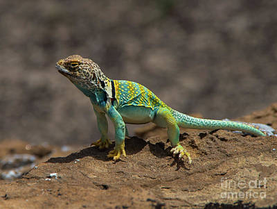 Photograph - Colorful Lizard by Steve Whalen