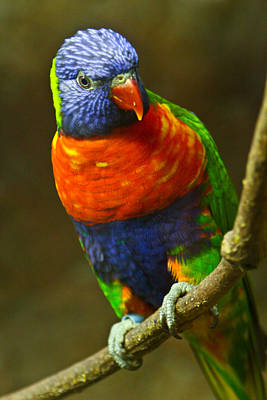 Keith Richards Royalty Free Images - Colorful Lorikeet Royalty-Free Image by Douglas Barnett