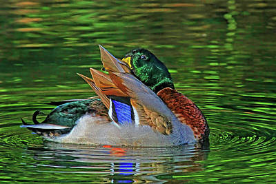 Photograph - Colorful Mallard Drake Preening by HH Photography of Florida