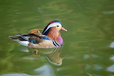 Photograph - Colorful Mandarin Duck 3 by Lynn Hopwood