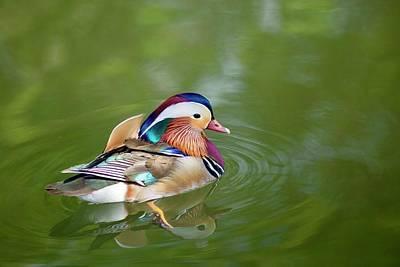 Photograph -  Colorful Mandarin Duck 5 by Lynn Hopwood