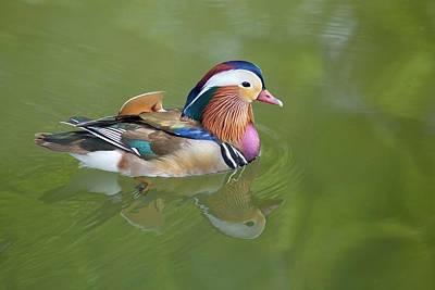 Photograph - Colorful Mandarin Duck by Lynn Hopwood
