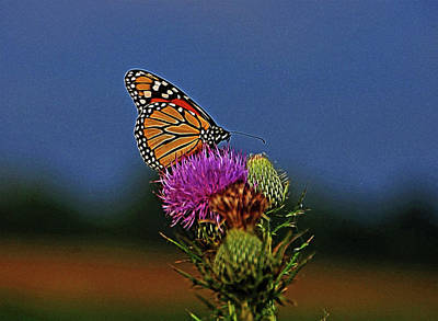 Print featuring the photograph Colorful Monarch by Sandy Keeton