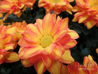 Art Print featuring the photograph Colorful Mums by Ray Shrewsberry