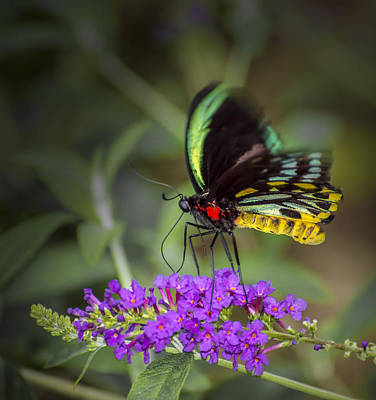 Photograph - Colorful Northern Butterfly by Penny Lisowski