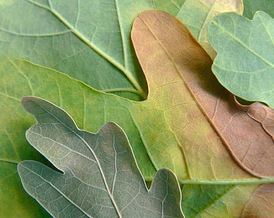 Photograph - Colorful Oak Tree Leaves by Jennie Marie Schell