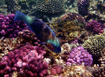 Photograph - Colorful Parrotfish And Corals by Johanna Hurmerinta