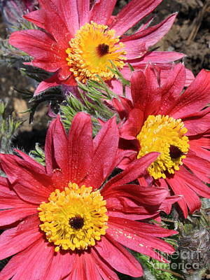 Pasque Flower Photograph - Colorful Pasque Flowers by Carol Groenen