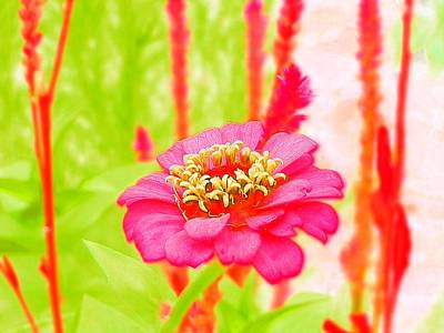 Photograph - Colorful Pink Zinnia by Belinda Lee