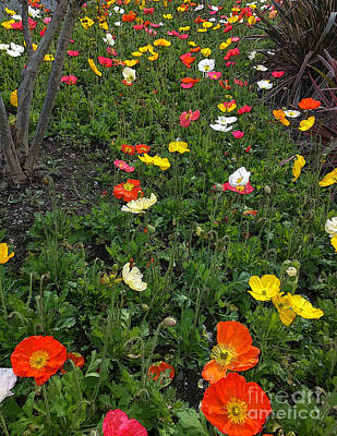 Photograph - Colorful Poppies Garden by Haleh Mahbod