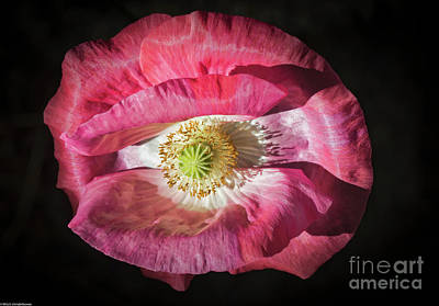 Photograph - Colorful Poppy by Mitch Shindelbower