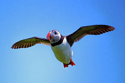Photograph - Colorful Puffin Art Photography Wall Art Prints by Wall Art Prints