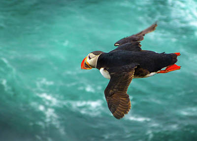 Photograph - Colorful Puffin Jumping Art Nature Birds Photography by Wall Art Prints
