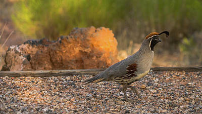 Photograph - Colorful Quail Snow Canyon State Park Utah by Lawrence S Richardson Jr