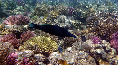 Photograph - Colorful Red Sea Sealife With Bird Wrasse by Johanna Hurmerinta