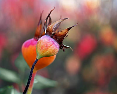 Photograph - Colorful Rose Hips by Rona Black