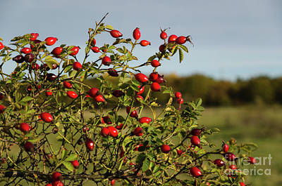 Photograph - Colorful Rosehips by Kennerth and Birgitta Kullman