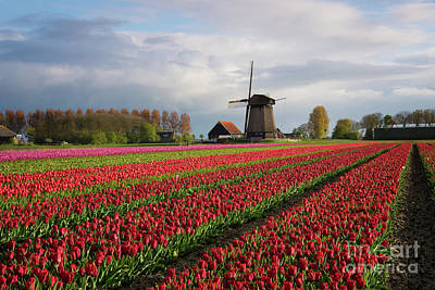 Photograph - Colorful Rows Of Tulips In Front Of A Windmill by IPics Photography
