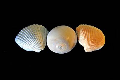 Photograph - Colorful Shells On Black Background by Angela Murdock