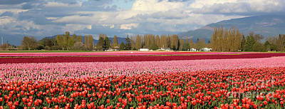 Photograph - Colorful Skagit Valley Tulip Fields Panorama by Carol Groenen