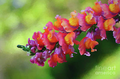 Antirrhinum Photograph - Colorful Snapdragon by Kaye Menner