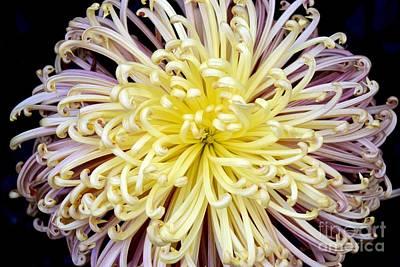 Colorful Spider Chrysanthemum   Art Print