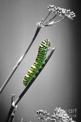 Photograph - Colorful Striped Caterpillar Closeup Macro Color Splash Black And White by Shawn O'Brien