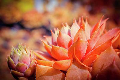 Photograph - Colorful Succulents Plant by Lilia D