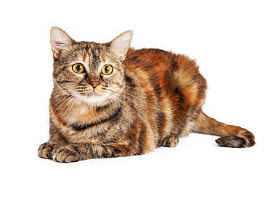 Colorful Tortie Cat Laying Looking Forward Art Print by Susan Schmitz