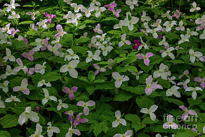 Photograph - Colorful Trillium Flowers by Les Palenik