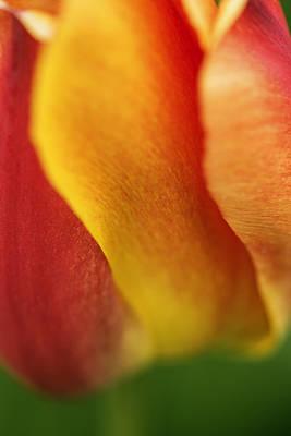 Colorful Tulip Closeup Abstract Art Print