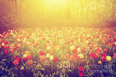 Field Photograph - Colorful Tulip Flowers In The Garden On Sunny Day In Spring by Michal Bednarek