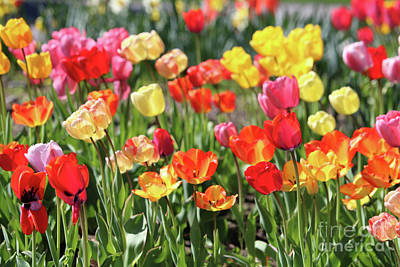 Photograph - Colorful Tulip Garden by Carol Groenen