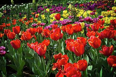 Photograph - Colorful Tulips At Descanso Gardens by Lynn Bauer