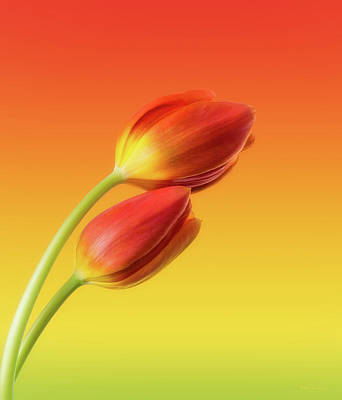 Two Photograph - Colorful Tulips by Wim Lanclus