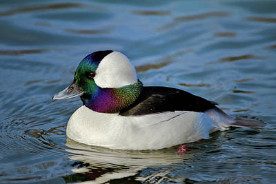 Photograph - Colorful Waterfowl by Craig Strand
