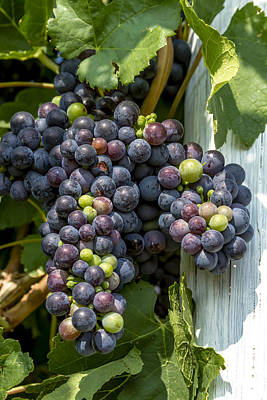 Colorful Wine Grapes On Grapevine Art Print by Teri Virbickis