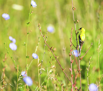 Photograph - Colorful Yellow Finch In Summer by Dan Sproul