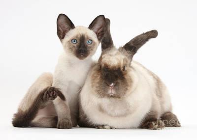 Colorpoint Rabbit And Siamese Kitten Art Print