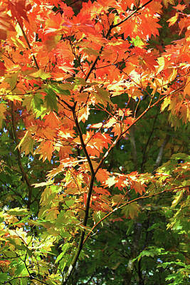 Photograph - Colors Of An Autumn Tree by Bonnie Follett