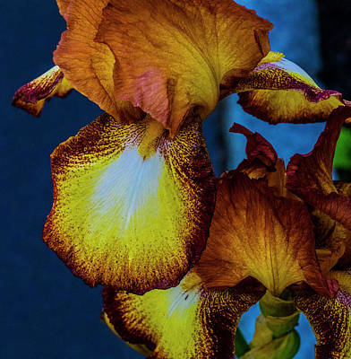 Photograph - Colors Of Iris by Paul Ross