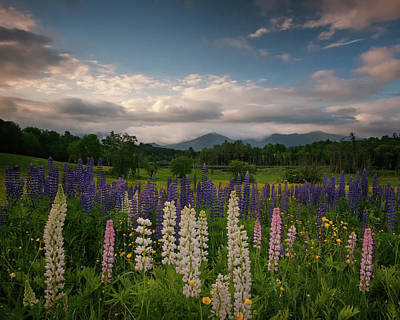 Photograph - Colors Of Lupines by Darylann Leonard Photography