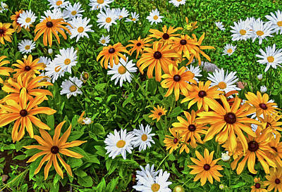 Photograph - Colors Of Nature - Daisies 040 by George Bostian