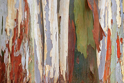 Photograph - Colors Of Nature - Eucalyptus Tree Bark Abstract by Gill Billington