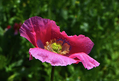 Photograph - Colors Of Nature - Poppy With Raindrops 004 by George Bostian